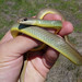 Western Yellow-bellied Racer - Photo (c) randomtruth, some rights reserved (CC BY-NC-SA)