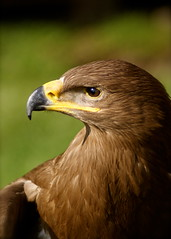 Introducing Mr. Tawny Eagle