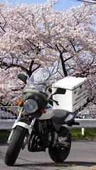 バイク便 桜 所沢市 2011-04-12 021