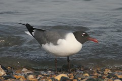 Laughing Gull, Delaware