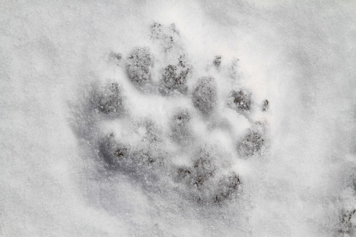 Wolf (Canis lupus) Tracks by GlacierNPS