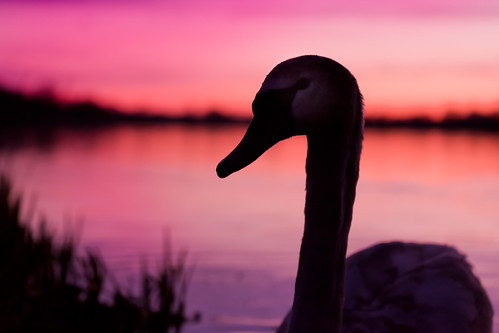 Pumpkin Time (Juvenille Swan At Twilight), Rickmansworth