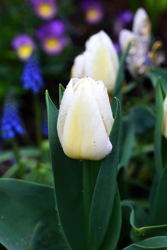 White Tulip with Mascari in the Background