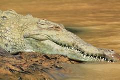 Panama Canal Crocodile