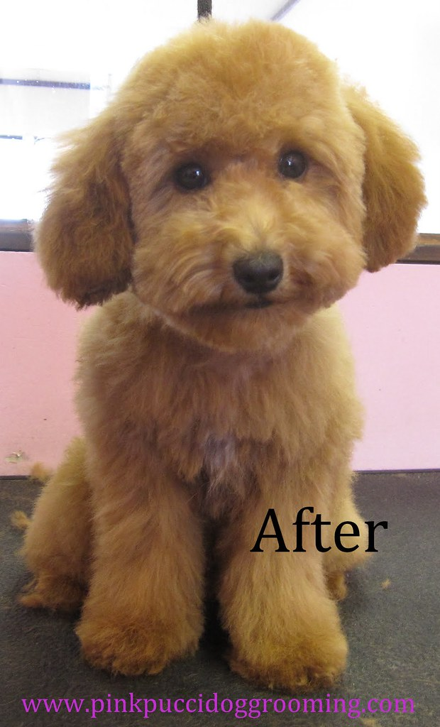 After grooming toy poodle wwwPinkPucciDogGroomingcom