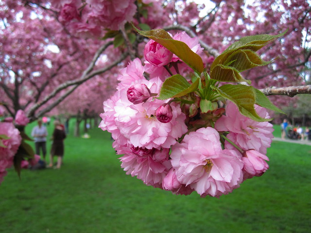 Visitors enjoy Prunus 'Kanzan' on Cherry Esplanade. Photo by Rebecca Bullene.