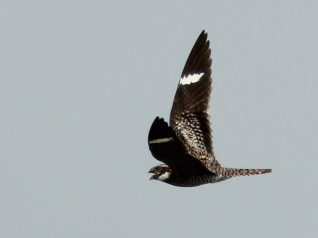 Common Nighthawk 20110427