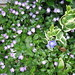 Small photo of Two types of Vinca