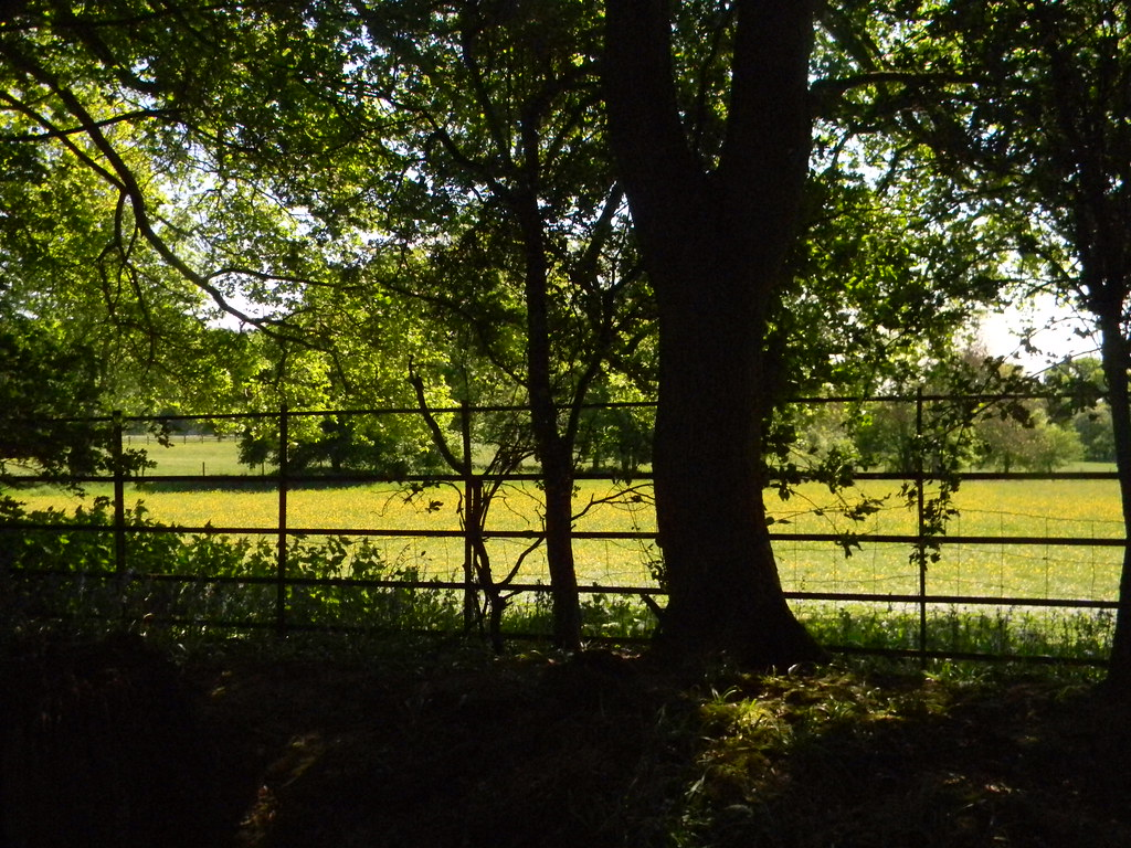 Fence and buttercups Ockley to Warnham