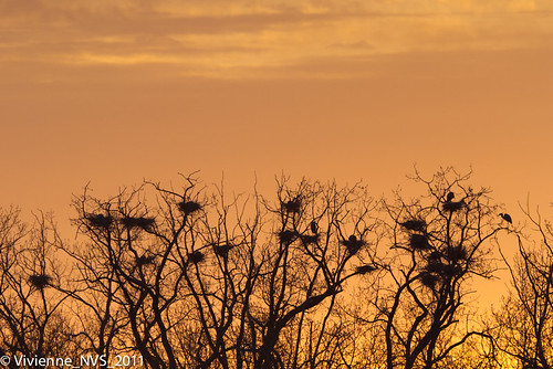 bird heron illinois greatblueheron rookery lcfp heroncreekforestpreserve