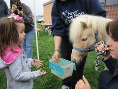 Miniature Horse 5
