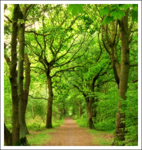 trees england woodland path may trunks oaks shaw picnik doncaster southyorks armthorpe