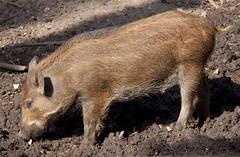 wild boar(0.0), warthog(0.0), animal(1.0), peccary(1.0), domestic pig(1.0), pig(1.0), fauna(1.0), pig-like mammal(1.0), wildlife(1.0),