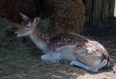 Fallow deer in the shade