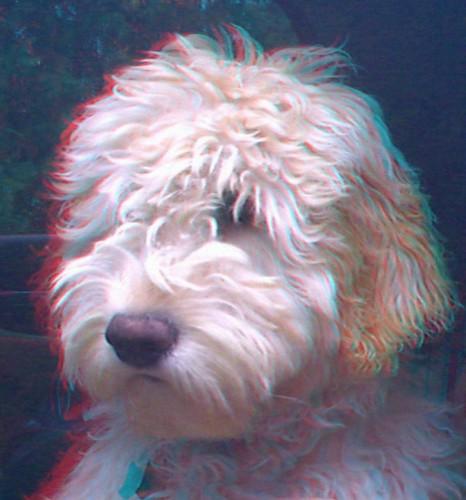 dog pets goldenretriever 3d anaglyph stereo poodle goldendoodle aiptek