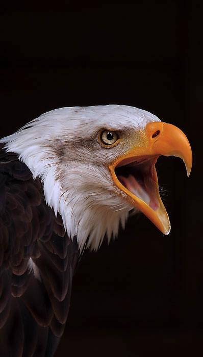Bald Headed Eagle (Haliaeetus leucocephalus) Hawk Conservancy Trust Hampshire