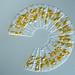 Diatom by linden.g
