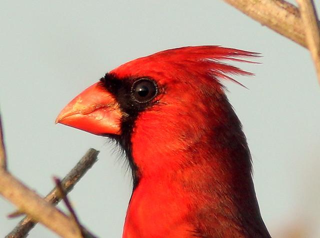 Northern Cardinal 20110330