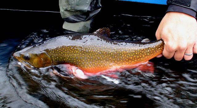 Kennebec River Brook Trout