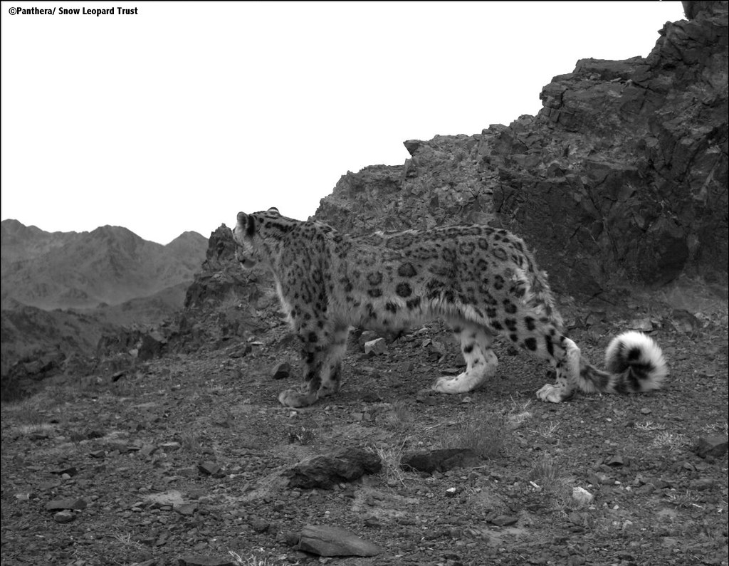 Snow leopard looking over mountain range