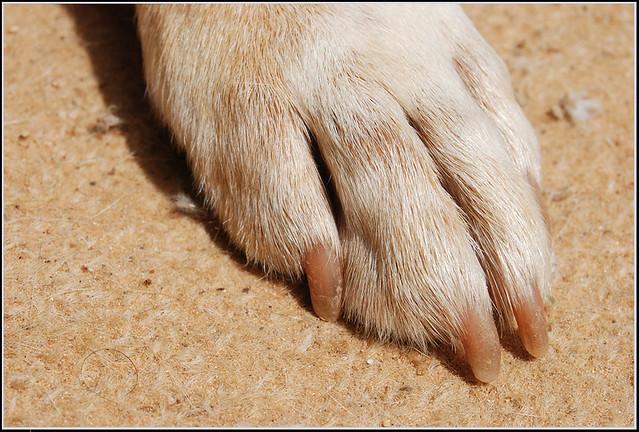 Dog's foot - כף רגל של כלב