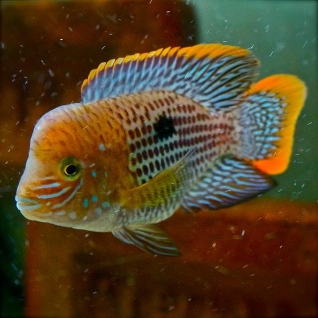 Terror cichlids for sale images for Cichlid fish for sale