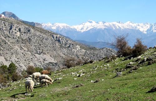 mountain montagne sheep montagna mouton mercantour alpesmaritimes pecora coth utelle rubyphotographer mygearandme mygearandmepremium mygearandmebronze moyennevésubie