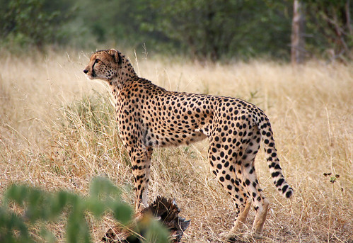 Cheetah the fastest animal