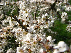 blossom, shrub, flower, branch, tree, plant, macro photography, wildflower, flora, prunus spinosa, spring,