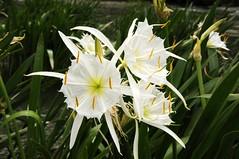 lily(0.0), erythronium(0.0), wheel(0.0), gladiolus(0.0), daylily(0.0), narcissus(0.0), flower(1.0), yellow(1.0), hymenocallis littoralis(1.0), flora(1.0),