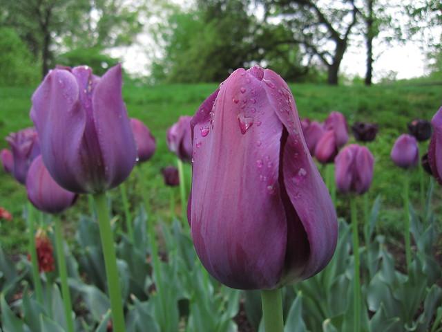 Tulipa 'Paul Scherer' blooms on Lily Pool Terrace. Photo by Rebecca Bullene.