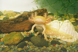 Goldy the axolotl