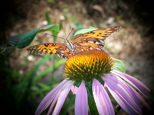 Butterfly on My Cone Flower
