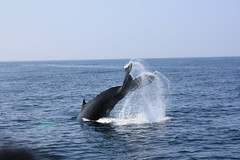 animal, marine mammal, whale, sea, marine biology,