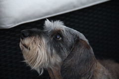 schnauzer(0.0), cesky terrier(0.0), dandie dinmont terrier(0.0), miniature schnauzer(0.0), dog breed(1.0), animal(1.0), dog(1.0), schnoodle(1.0), petit basset griffon vendã©en(1.0), pet(1.0), glen of imaal terrier(1.0), carnivoran(1.0), terrier(1.0),