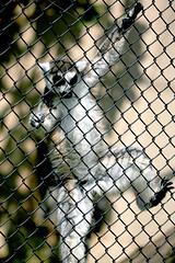 Ring-tailed Lemur - 24