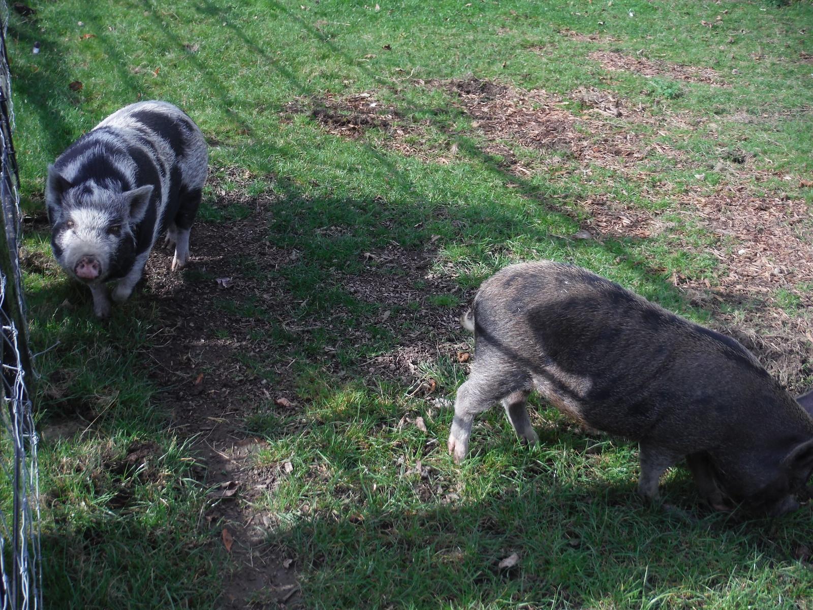 Piglets in Weedon SWC Walk 194 Aylesbury Vale Parkway to Aylesbury