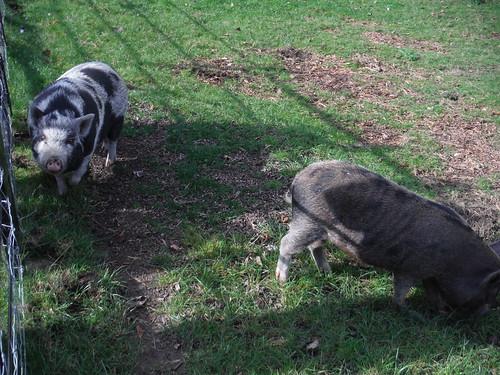 Piglets in Weedon