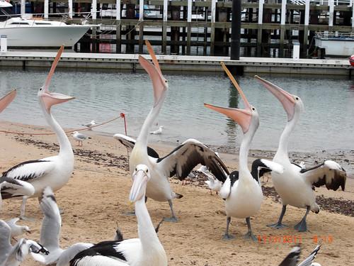 San Remo Pelicans BeeLing 13