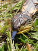 "<a href=""http://www.flickr.com/photos/kookr/5570861940/"">Photo of Tiliqua nigrolutea by David Cook</a>"