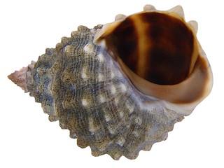 Nodilittorina tuberculata (Menke, 1828)
