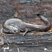 Small photo of Smallmouth Salamander (Ambystoma texanum)