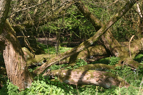 Rotting trees in stream