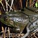 Small photo of American Bullfrog