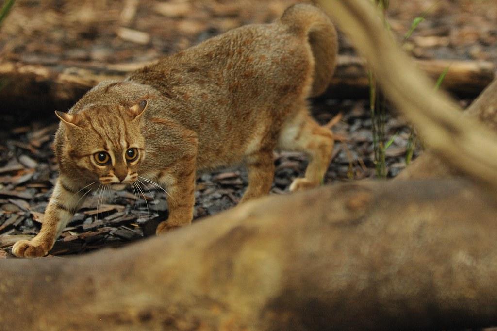 Ржавая кошка или Prionailurus rubiginosus