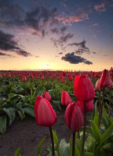 sunset sky flower field festival clouds washington mud tulip mountvernon skagitvalley skagitvalleytulipfestival