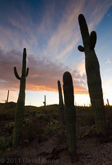 Sunsets and Saguaro, Saguaro National Park, Arizona