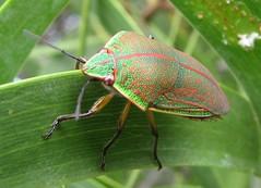 leafhopper(0.0), plant stem(0.0), arthropod(1.0), animal(1.0), leaf(1.0), invertebrate(1.0), insect(1.0), macro photography(1.0), green(1.0), fauna(1.0), close-up(1.0), true bugs(1.0),