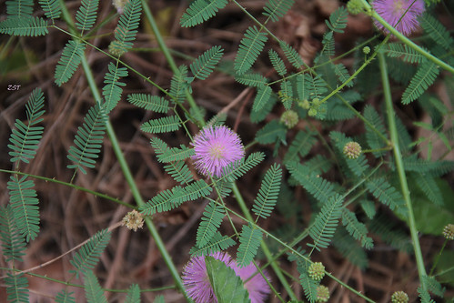 Sensitive Briar Missouri Sensitive Briar Mimosa
