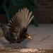 Blackbird by Steve Wood (peakscan)
